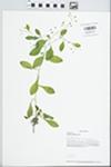Samolus parviflorus Raf. by Loy R. Phillippe