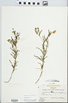 Lysimachia quadriflora Sims