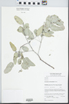 Eucalyptus melanophloia F. Muell. by P. C. Jobson, D. M. Bell, and J. T. Hunter