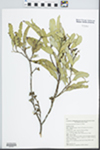 Eucalyptus dumosa A. Cunn. ex J. Oxley by K. D. Hill, W. A. Cherry, and A. E. Orme