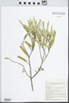 Eucalyptus gracilis F. Muell. by K. D. Hill, W. A. Cherry, and A. E. Orme
