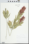 Callistemon viminalis (Soland. ex Gaertn.) Cheel. by Betty Nelson, Roy Nelson, and LaVerne Sumner