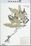 Eucalyptus albens Benth.