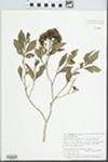 Syzygium maire (A.Cunn.) Sykes & Garn.-Jones