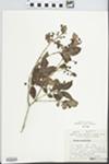 Myrcianthes callicoma McVaugh by Teodore Meyer