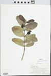 Psidium guajava L.