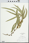 Eucalyptus globulus Labill. by Hiram Frederick Thut