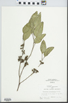 Eucalyptus polyanthemos Schauer by Hiram Frederick Thut