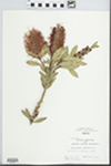 Callistemon citrinus (Curtis) Stapf