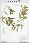 Phillyrea angustifolia L. by S. Martin-Bravo