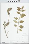 Syringa persica L. by John E. E. Ebinger