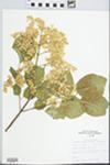 Syringa reticulata (Blume) H. Hara by John E. E. Ebinger