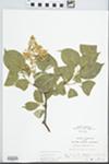 Syringa amurensis Rupr. by John E. E. Ebinger