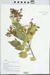 Syringa reticulata (Blume) H. Hara by Rachel Jones