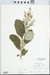 Syringa villosa Vahl by John E. E. Ebinger