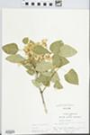 Syringa vulgaris L. by G. A. Hellinga