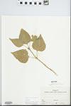 Syringa vulgaris L. by Mary Ellen Fasig and Shirley Newell