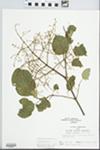 Syringa amurensis Rupr.