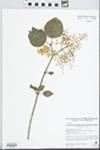 Syringa reticulata subsp. reticulata (Blume) H. Hara by Sarah Packard and Pat Vastalo