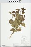 Syringa vulgaris L. by Mary J. John