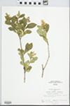 Ligustrum acuminatum Koehne by John E. E. Ebinger