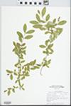 Ligustrum obtusifolium Siebold & Zucc.