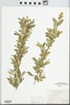 Ligustrum obtusifolium Siebold & Zucc. by George Neville Jones