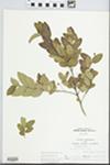 Ligustrum obtusifolium Siebold & Zucc. by Loy R. Phillippe