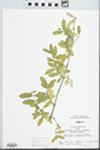 Ligustrum obtusifolium Siebold & Zucc. by John E. Ebinger
