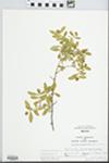 Ligustrum obtusifolium Siebold & Zucc. by John E. E. Ebinger