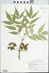 Fraxinus americana var. biltmoreana (Beadle) J. Wright ex Fernald by Scott Seeley