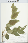 Fraxinus americana L. by John E. E. Ebinger