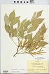 Fraxinus americana var. americana by Hiram Frederick Thut