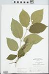Fraxinus americana L. by John Gerard