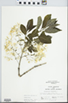Chionanthus virginicus L. by John Gerard