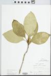 Chionanthus virginicus L. by John E. E. Ebinger