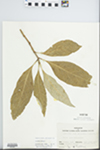 Chionanthus virginicus L. by Mary Ellen Fasig and Shirley Newell