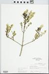 Chionanthus virginicus L. by R. Dale Thomas