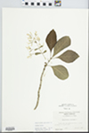 Chionanthus virginicus L. by William S. James