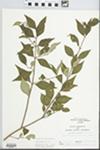 Forestiera acuminata (Michx.) Poir. by Loy R. Phillippe