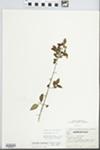 Forestiera acuminata (Michx.) Poir. by Robert A. Evers