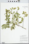 Forestiera acuminata (Michx.) Poir. by Dan Busemeyer, Mary Ann Feist, and J. Matthews