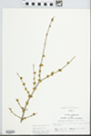 Forestiera acuminata (Michx.) Poir. by John Gerard