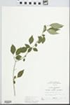 Forestiera acuminata (Michx.) Poir. by Randy W. Nyboer