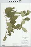 Forestiera acuminata (Michx.) Poir. by Glen S. Winterringer