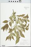 Forestiera acuminata (Michx.) Poir. by Raymond Athey