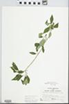 Forestiera acuminata (Michx.) Poir.