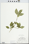 Forestiera acuminata (Michx.) Poir. by John E. Ebinger
