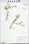 Forestiera angustifolia Torr. by D. S. Seigler and John E. Ebinger