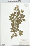 Forestiera ligustrina (Michx.) Poir. by Elizabeth M. Browne, Edward T. Browne, and Raymond Athey